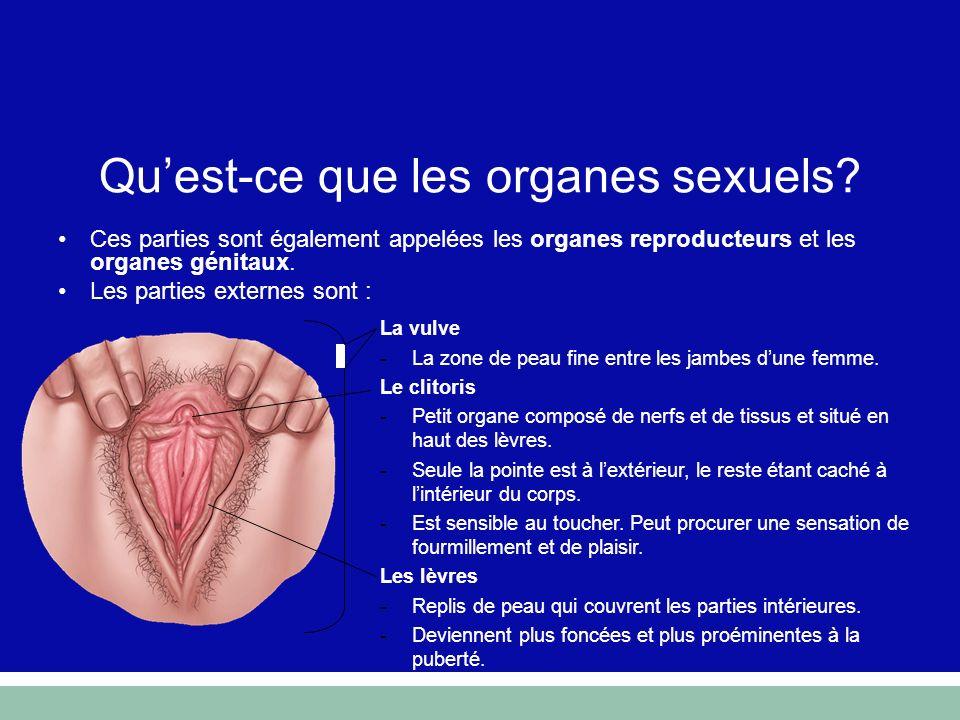 Qu'est-ce que les organes sexuels