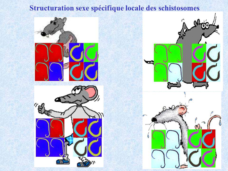 Structuration sexe spécifique locale des schistosomes