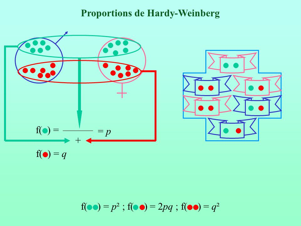Proportions de Hardy-Weinberg