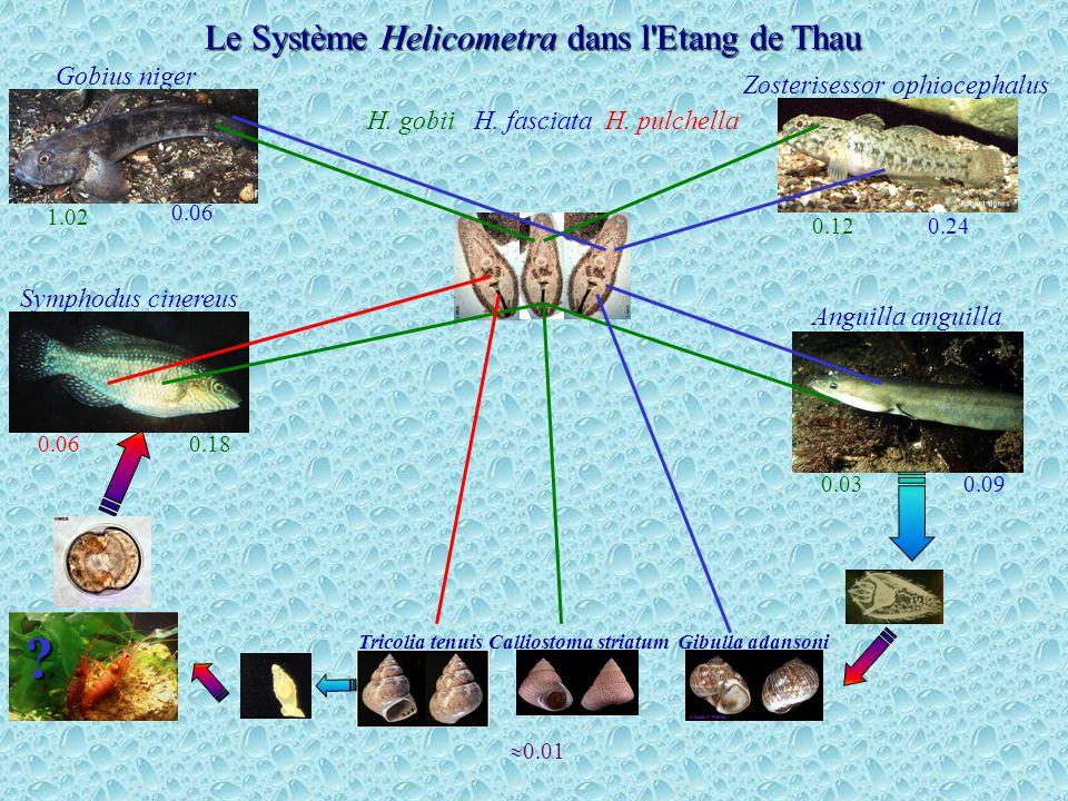 Le Système Helicometra dans l Etang de Thau Gobius niger