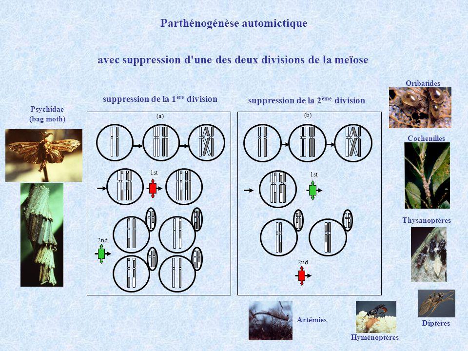 Parthénogénèse automictique