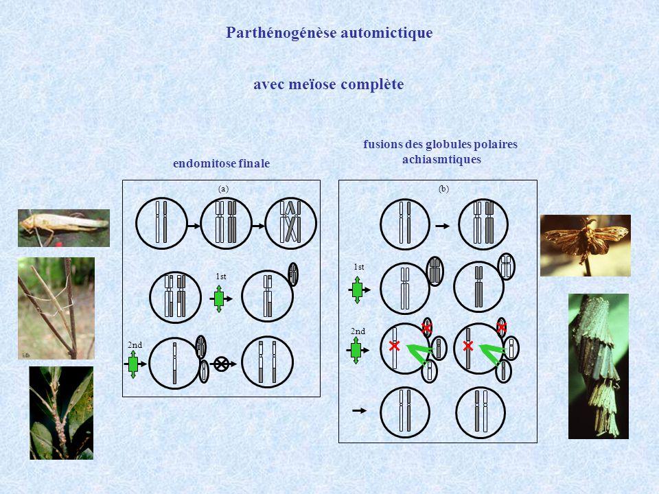 Parthénogénèse automictique fusions des globules polaires