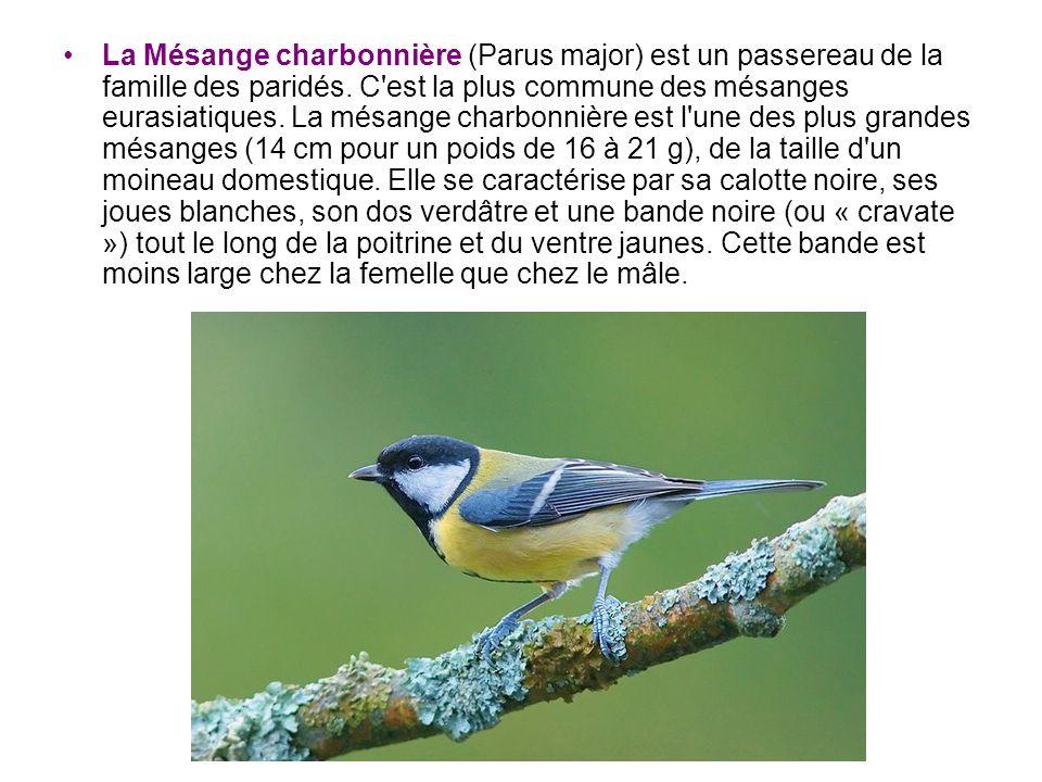 La Mésange charbonnière (Parus major) est un passereau de la famille des paridés.
