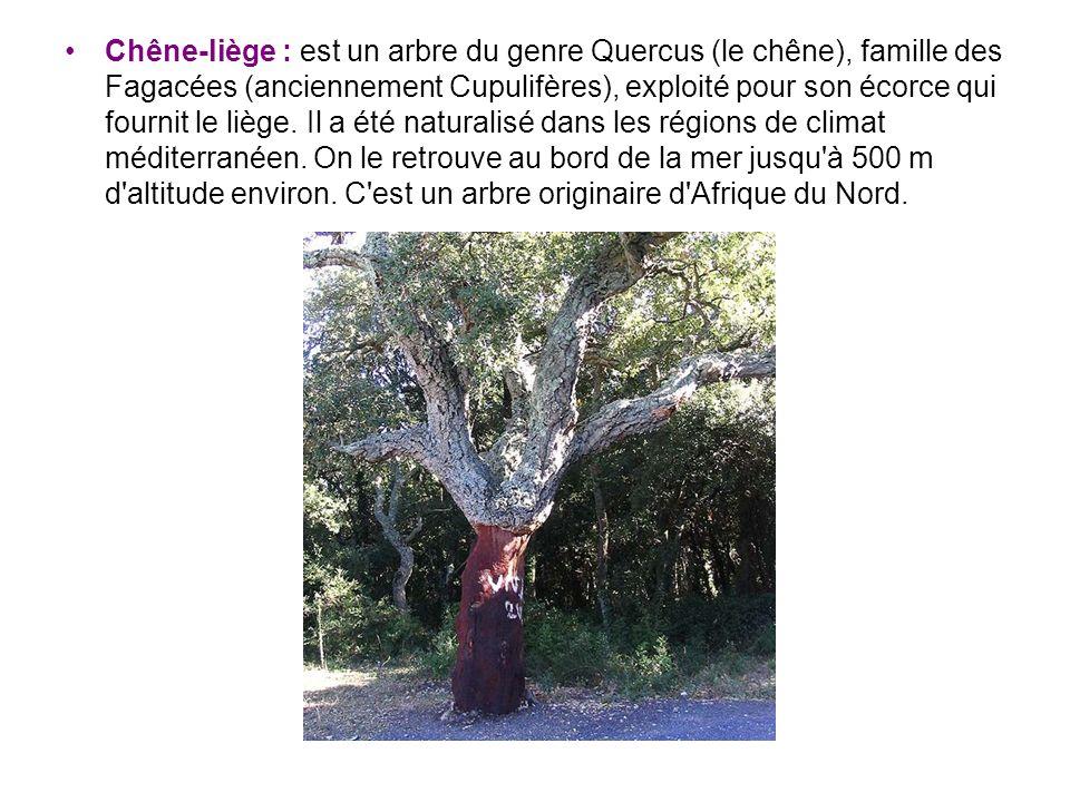 Chêne-liège : est un arbre du genre Quercus (le chêne), famille des Fagacées (anciennement Cupulifères), exploité pour son écorce qui fournit le liège.