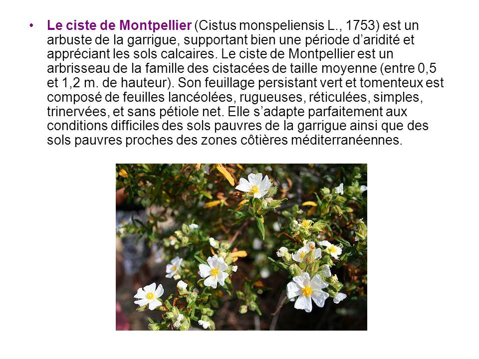 Le ciste de Montpellier (Cistus monspeliensis L