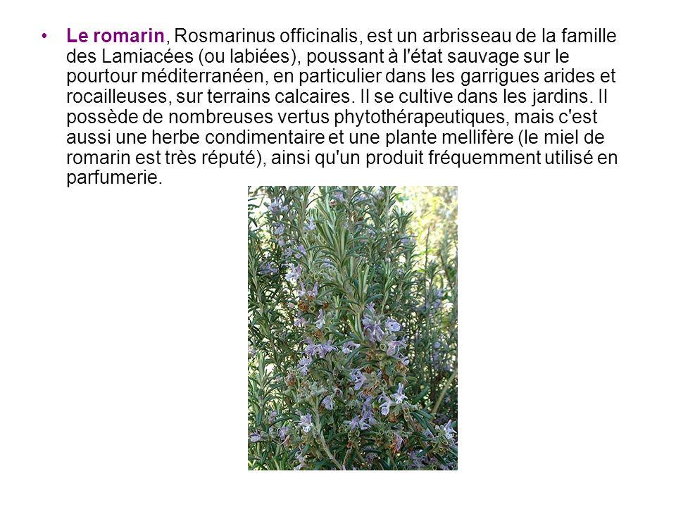 Le romarin, Rosmarinus officinalis, est un arbrisseau de la famille des Lamiacées (ou labiées), poussant à l état sauvage sur le pourtour méditerranéen, en particulier dans les garrigues arides et rocailleuses, sur terrains calcaires.