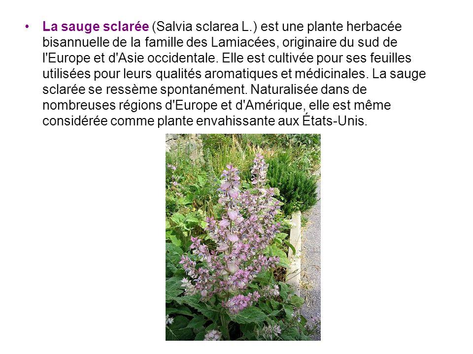 La sauge sclarée (Salvia sclarea L