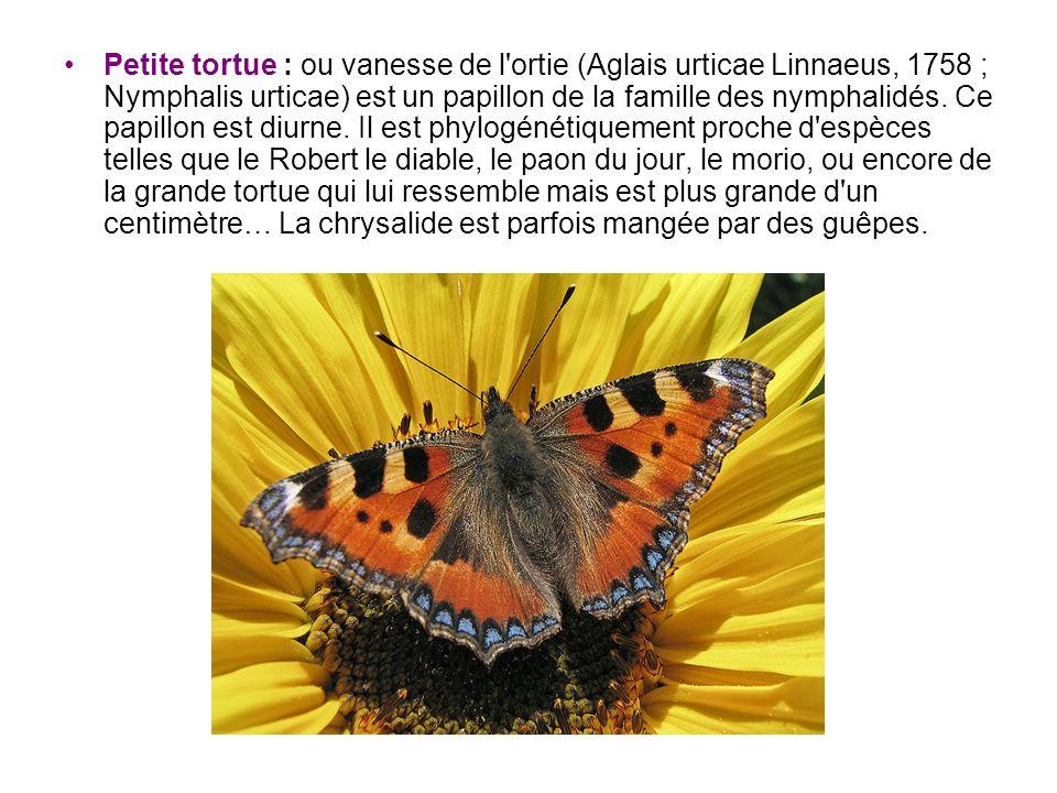 Petite tortue : ou vanesse de l ortie (Aglais urticae Linnaeus, 1758 ; Nymphalis urticae) est un papillon de la famille des nymphalidés.