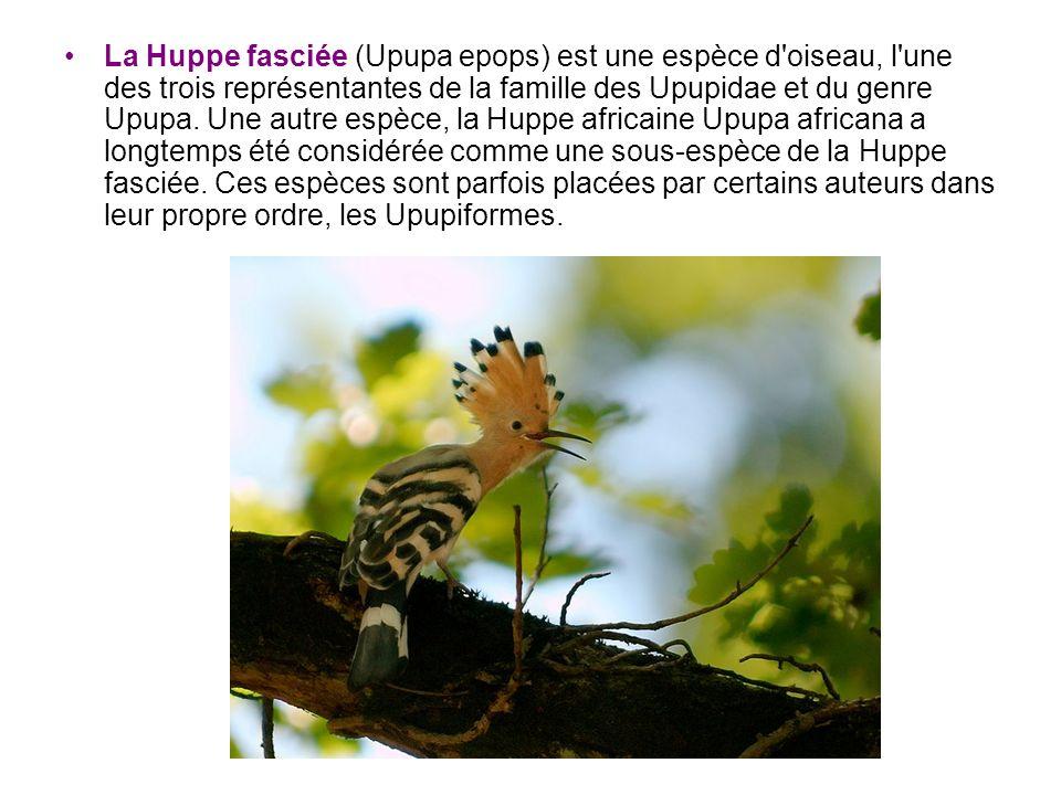 La Huppe fasciée (Upupa epops) est une espèce d oiseau, l une des trois représentantes de la famille des Upupidae et du genre Upupa.