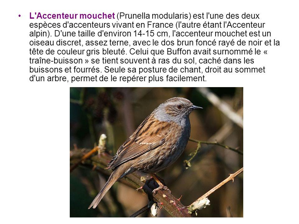 L Accenteur mouchet (Prunella modularis) est l une des deux espèces d accenteurs vivant en France (l autre étant l Accenteur alpin).