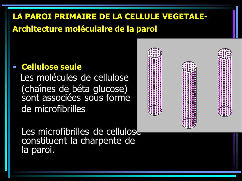 (chaînes de béta glucose) sont associées sous forme de microfibrilles