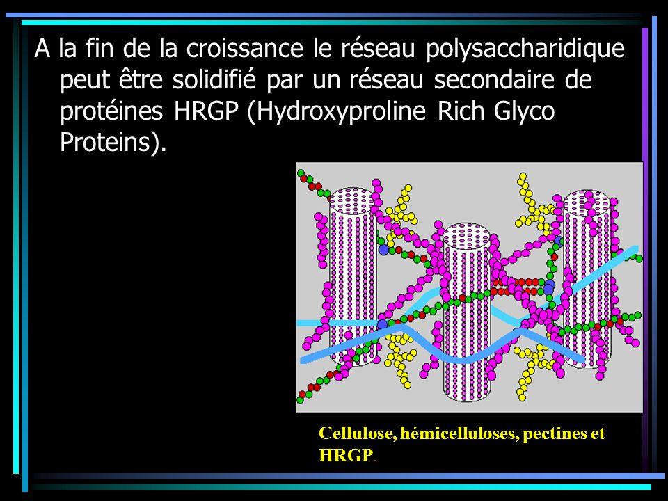 A la fin de la croissance le réseau polysaccharidique peut être solidifié par un réseau secondaire de protéines HRGP (Hydroxyproline Rich Glyco Proteins).