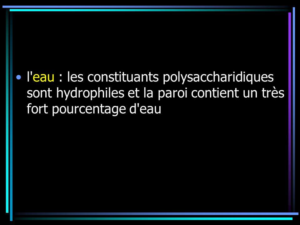 l eau : les constituants polysaccharidiques sont hydrophiles et la paroi contient un très fort pourcentage d eau
