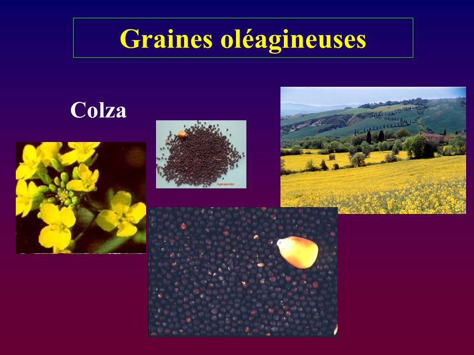 Graines oléagineuses Colza