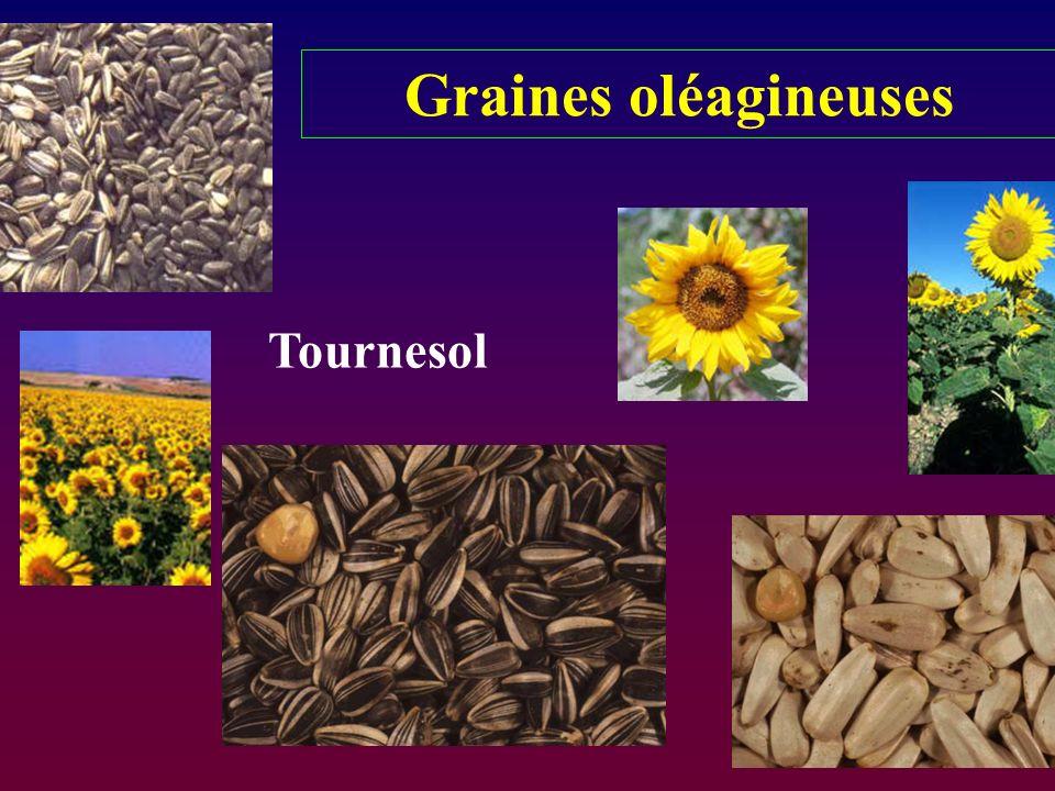 Graines oléagineuses Tournesol