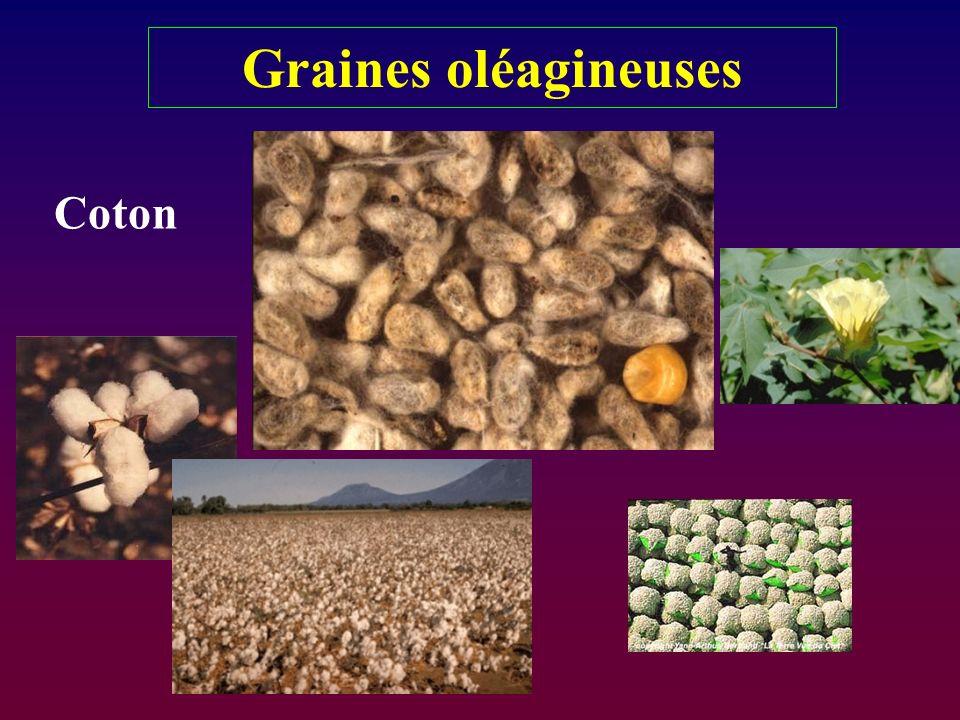 Graines oléagineuses Coton