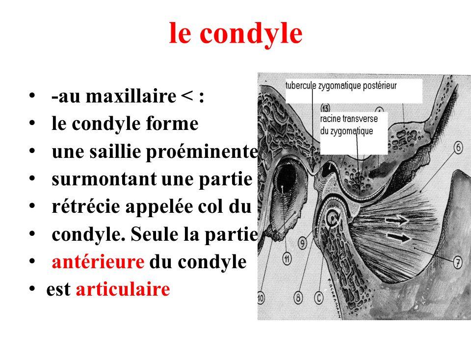 le condyle -au maxillaire < : le condyle forme