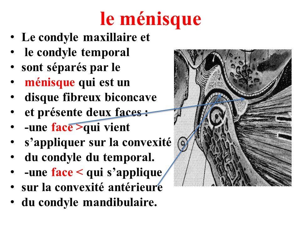 le ménisque Le condyle maxillaire et le condyle temporal