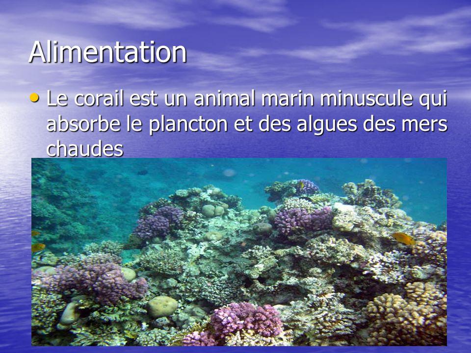 Alimentation Le corail est un animal marin minuscule qui absorbe le plancton et des algues des mers chaudes.
