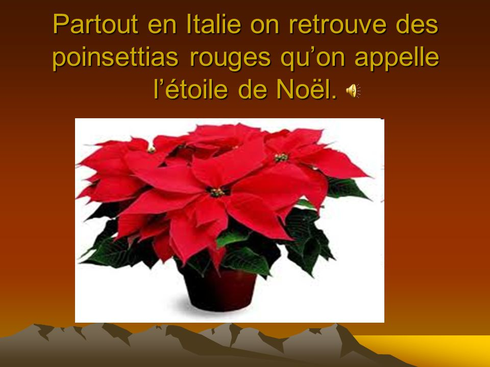 Partout en Italie on retrouve des poinsettias rouges qu'on appelle l'étoile de Noël.
