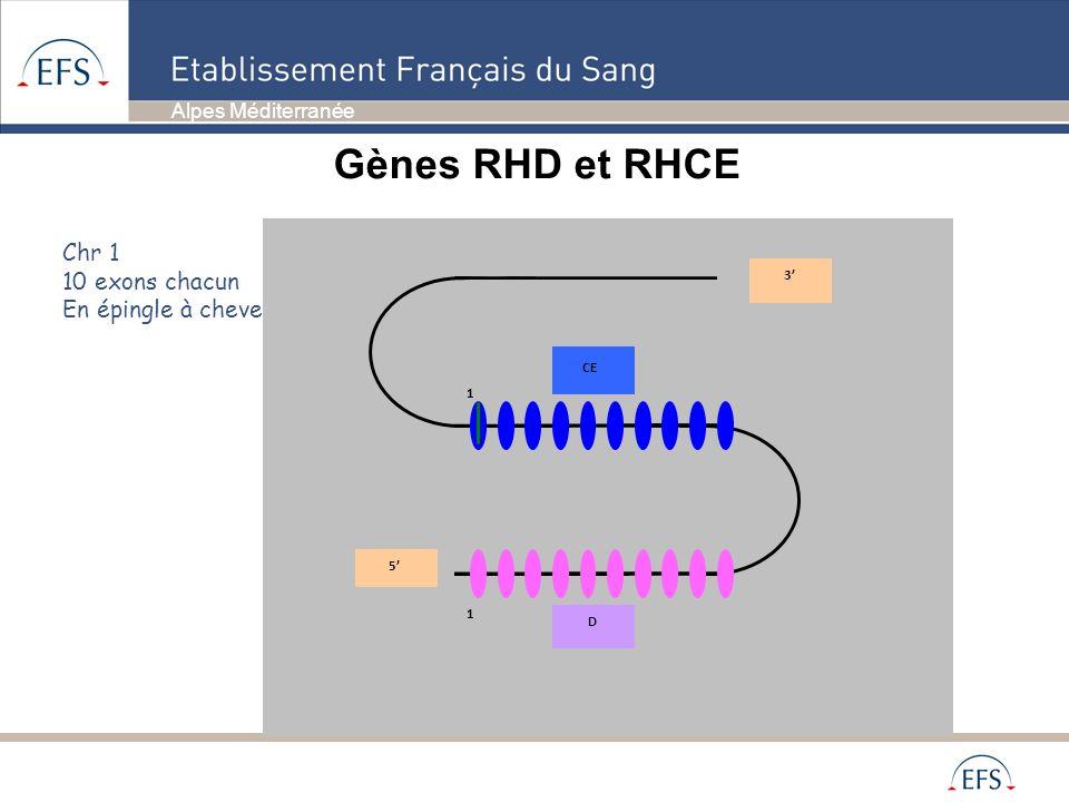 Gènes RHD et RHCE Chr 1 10 exons chacun En épingle à cheveux 3' CE 5'