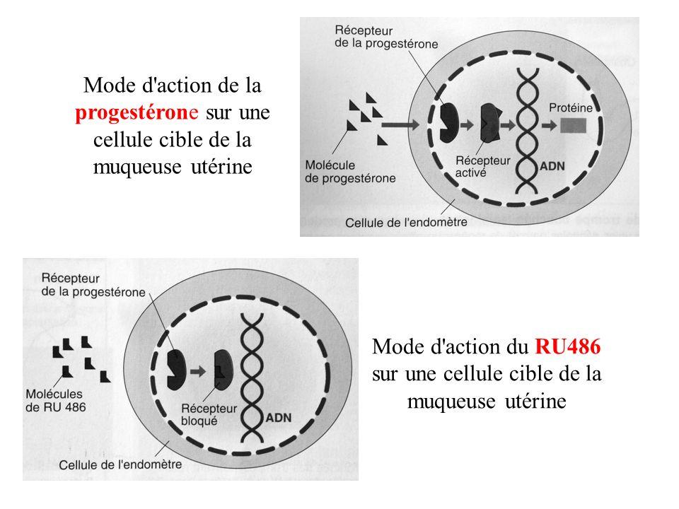 Mode d action du RU486 sur une cellule cible de la muqueuse utérine