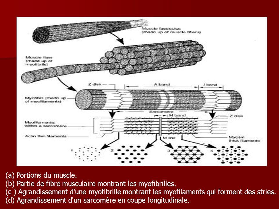 (a) Portions du muscle. (b) Partie de fibre musculaire montrant les myofibrilles.