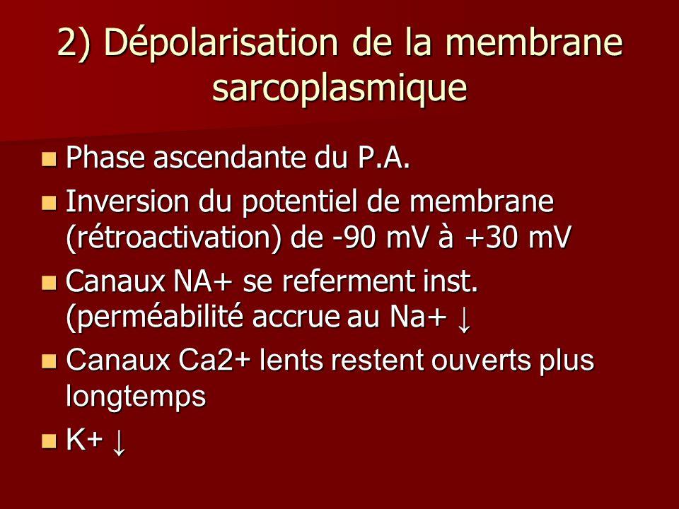 2) Dépolarisation de la membrane sarcoplasmique