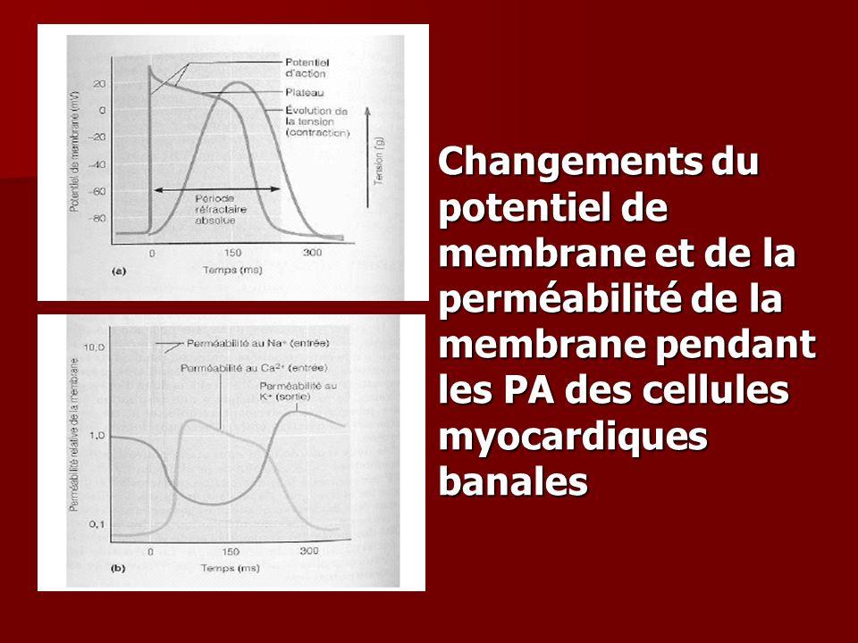 Changements du potentiel de membrane et de la perméabilité de la membrane pendant les PA des cellules myocardiques banales