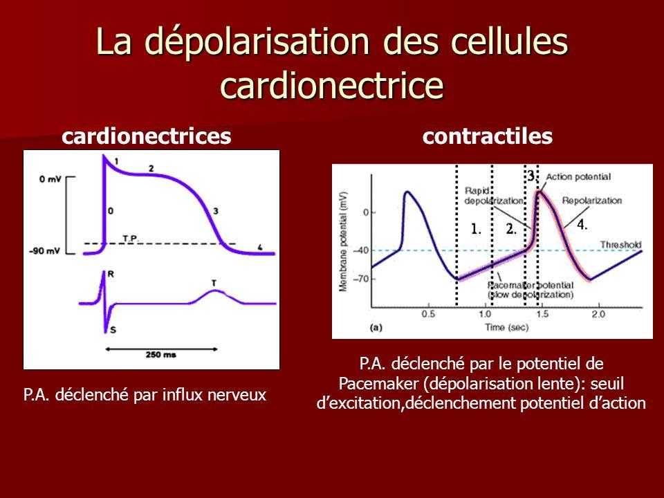 La dépolarisation des cellules cardionectrice