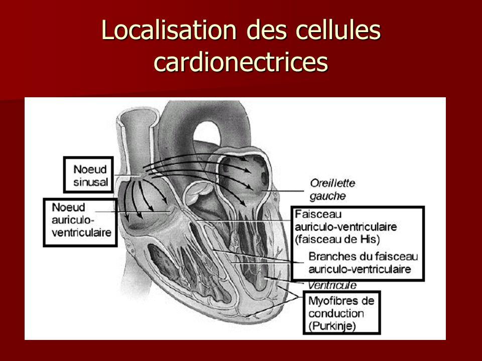 Localisation des cellules cardionectrices