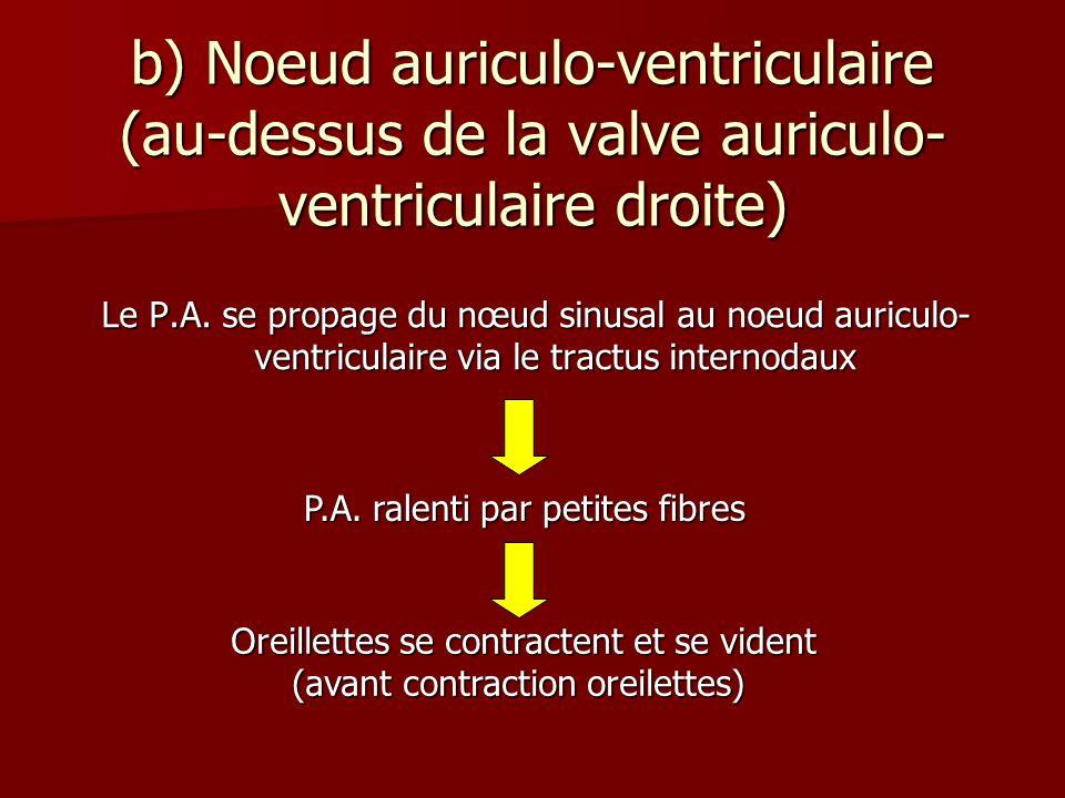 b) Noeud auriculo-ventriculaire (au-dessus de la valve auriculo-ventriculaire droite)