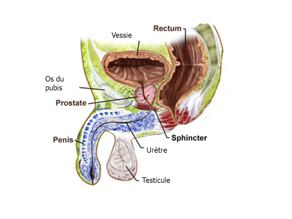 Vessie Os du pubis Urètre Testicule