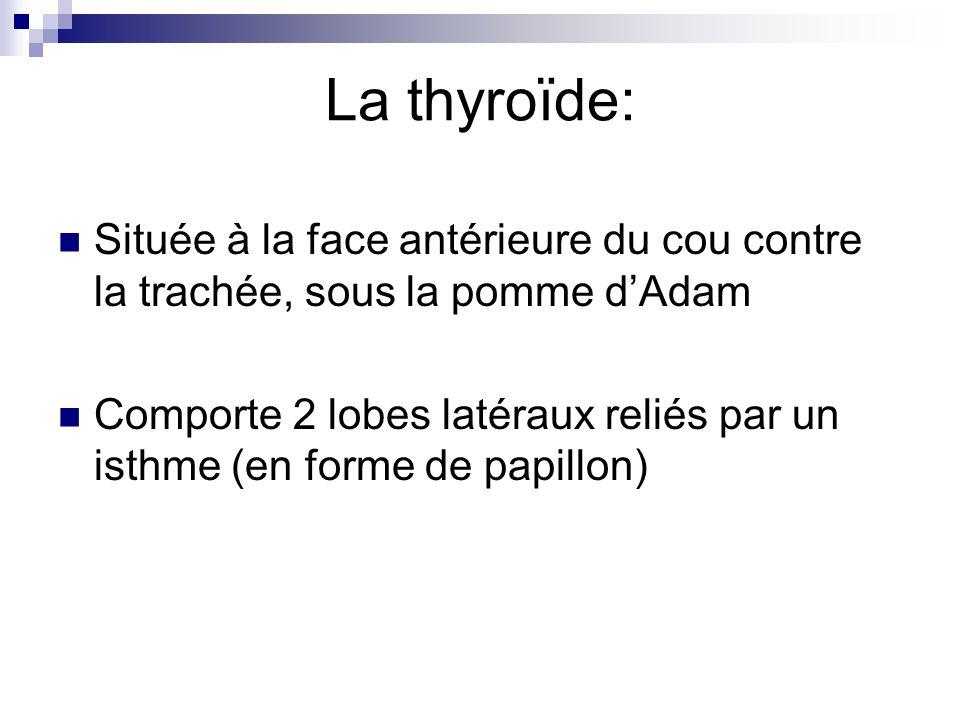 La thyroïde: Située à la face antérieure du cou contre la trachée, sous la pomme d'Adam.