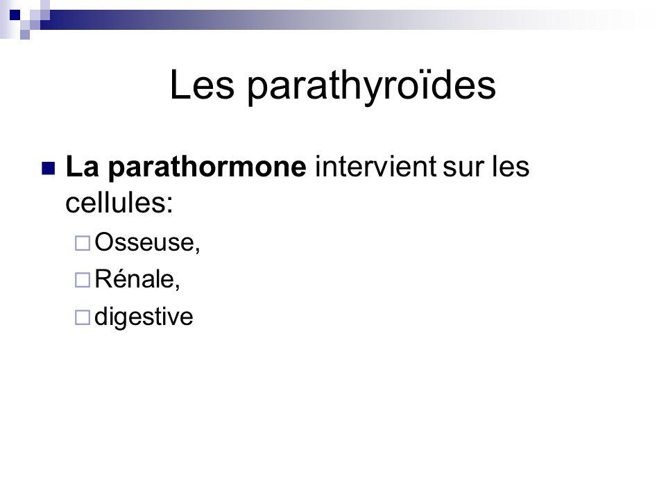 Les parathyroïdes La parathormone intervient sur les cellules: