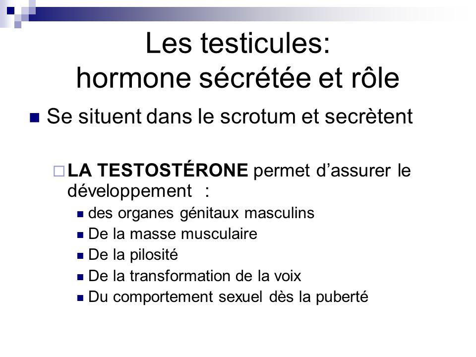 Les testicules: hormone sécrétée et rôle