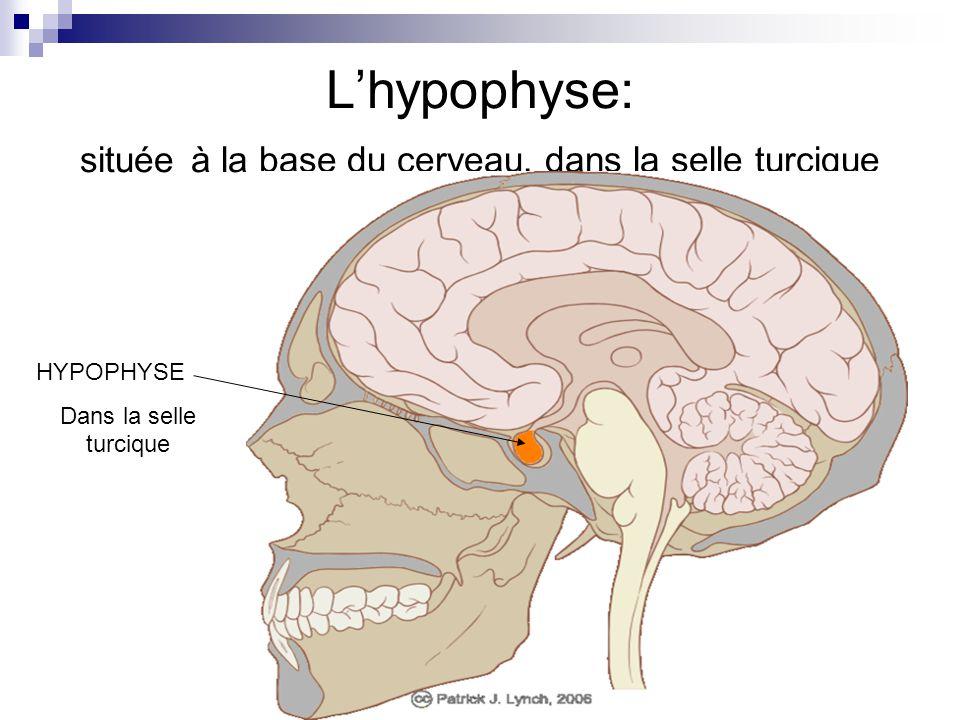 L'hypophyse: située à la base du cerveau, dans la selle turcique