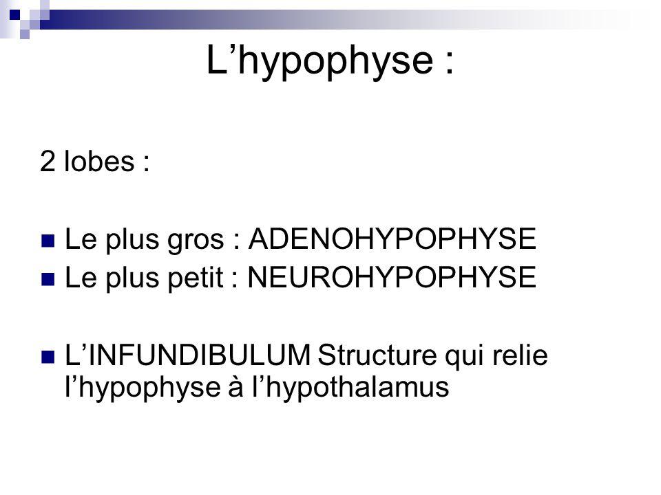 L'hypophyse : 2 lobes : Le plus gros : ADENOHYPOPHYSE