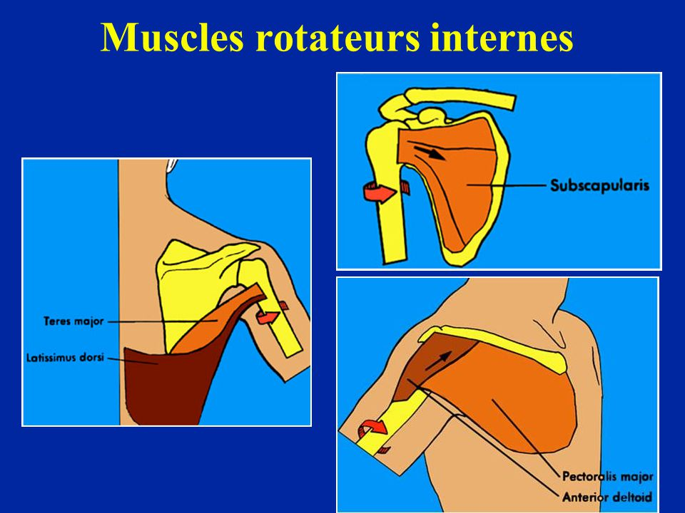 Muscles rotateurs internes