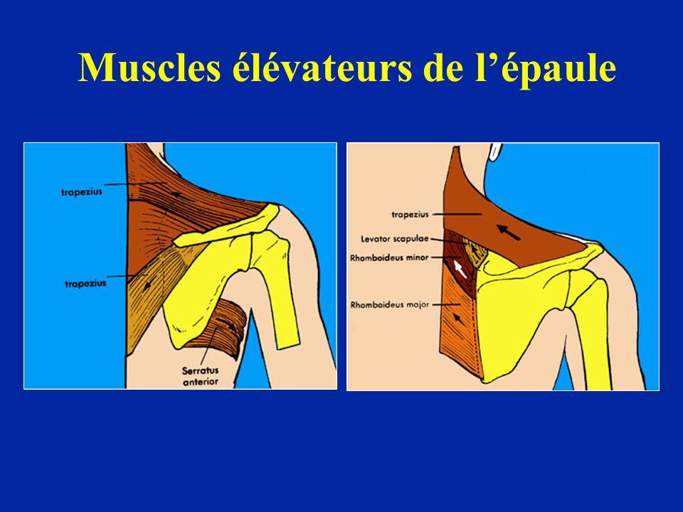 Muscles élévateurs de l'épaule