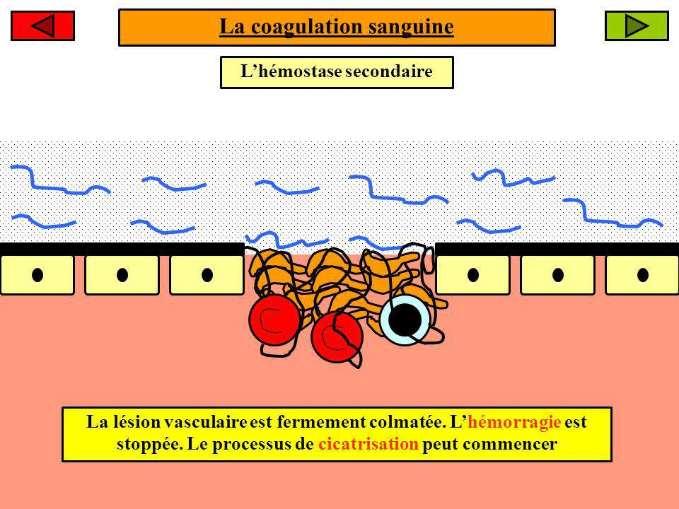 La coagulation sanguine L'hémostase secondaire