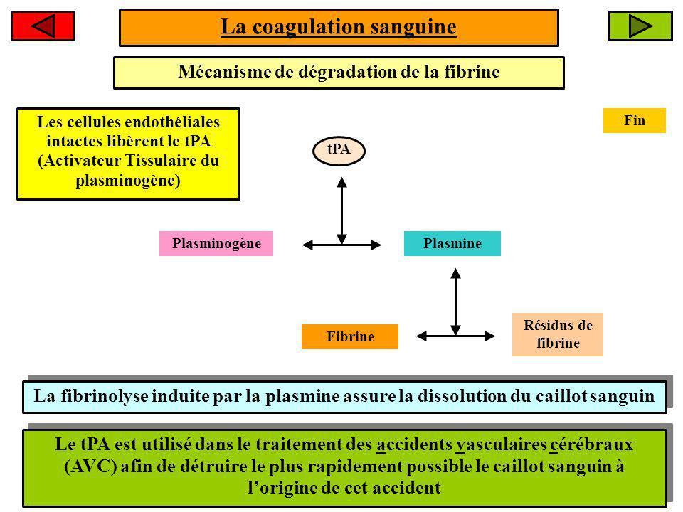 La coagulation sanguine Mécanisme de dégradation de la fibrine