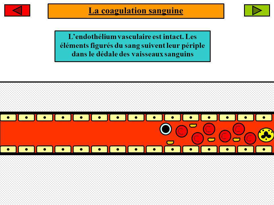 La coagulation sanguine