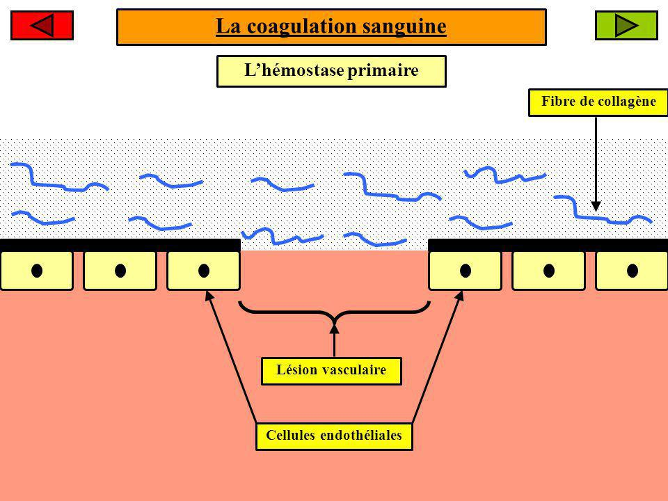 La coagulation sanguine Cellules endothéliales