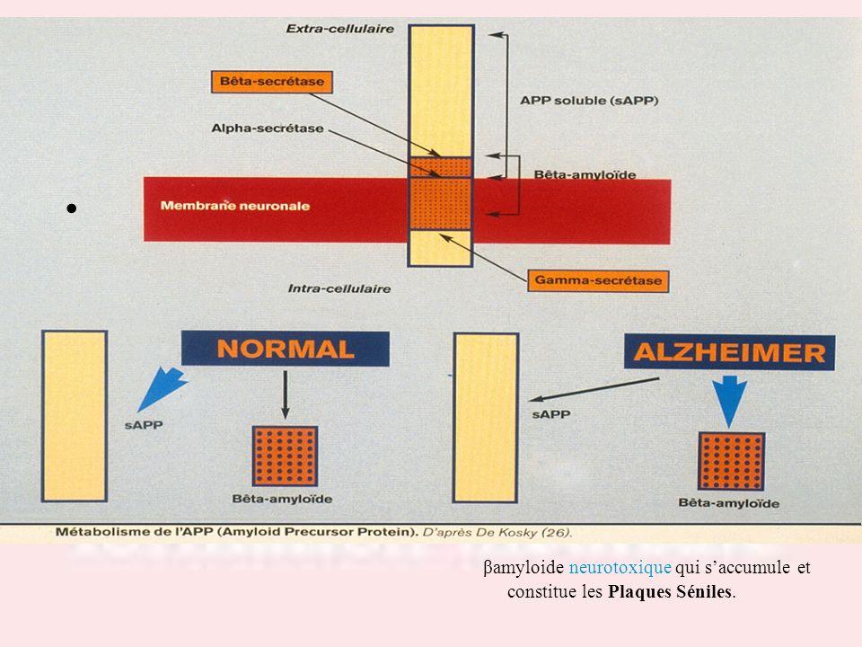 Drs S.LOTTON & R.THIRION βamyloide neurotoxique qui s'accumule et constitue les Plaques Séniles.