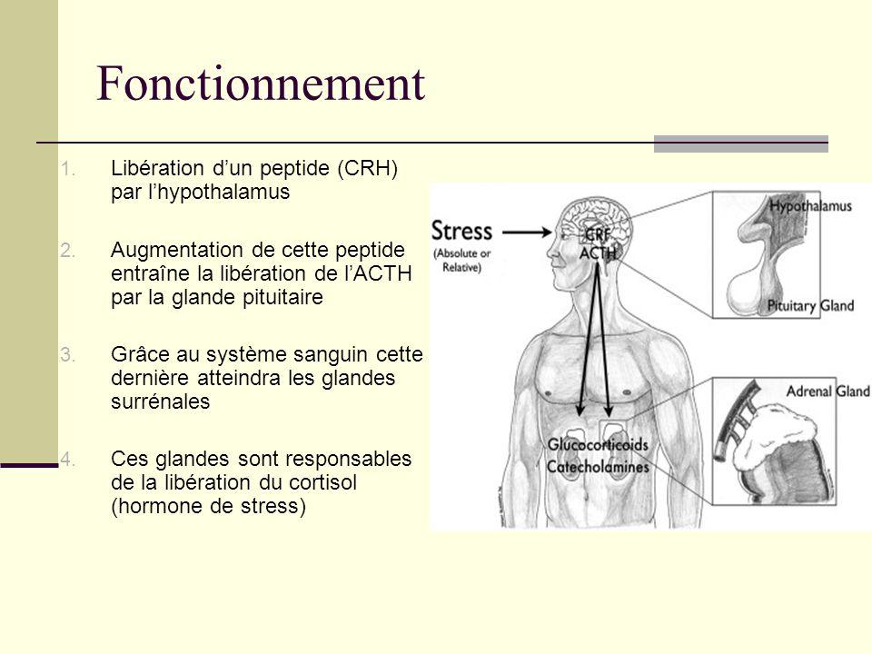 Fonctionnement Libération d'un peptide (CRH) par l'hypothalamus