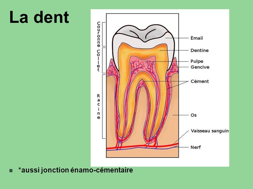 La dent *aussi jonction énamo-cémentaire