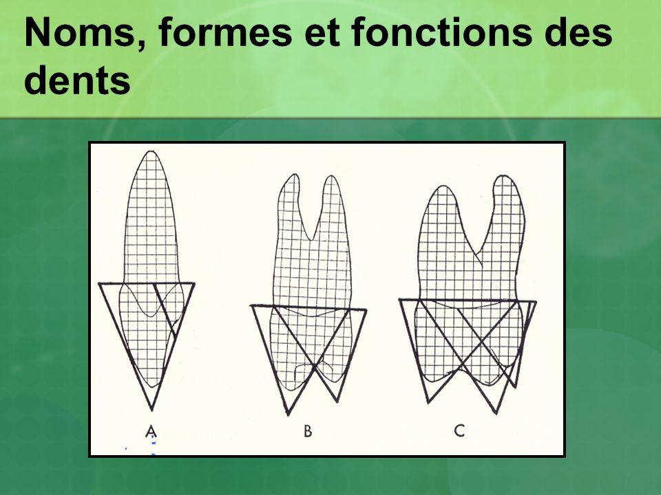 Noms, formes et fonctions des dents