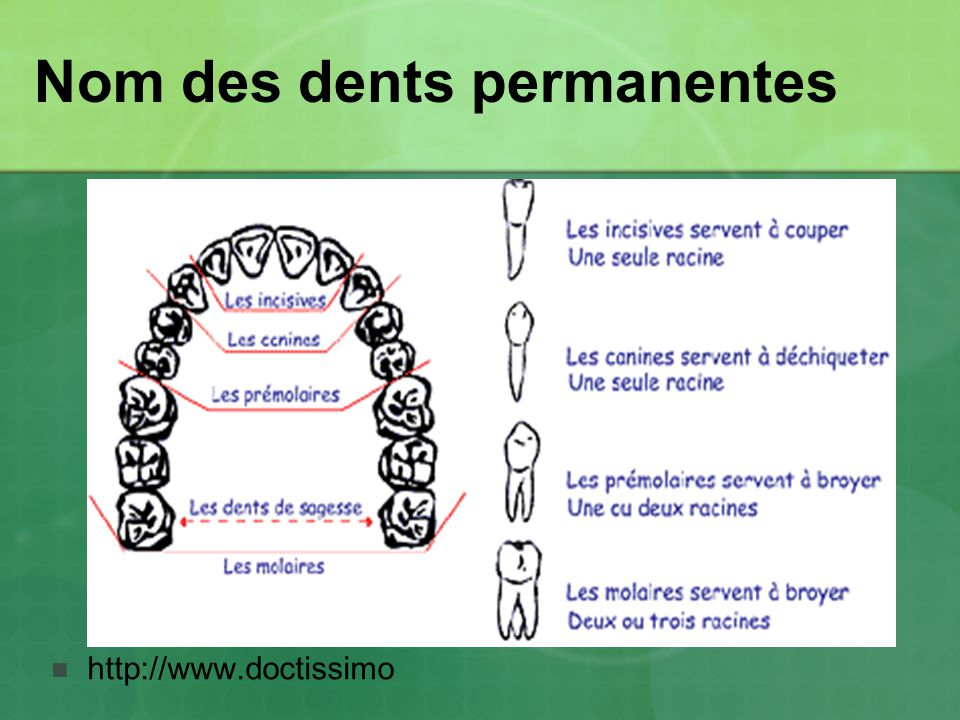 Nom des dents permanentes