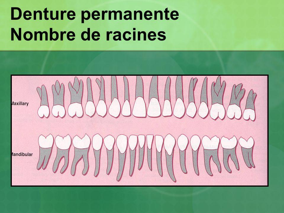 Denture permanente Nombre de racines
